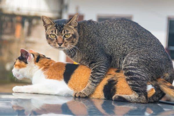 a female cat in heat mating